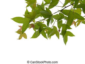 feuille, isolé, calcaratum, vert, érable, acer, gagnep