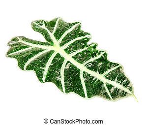 feuille, isolé, (schott), alocasia, blanc vert