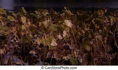 feuille, lotus, automne, beijing., vaste, piscine