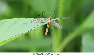 feuille, moustique