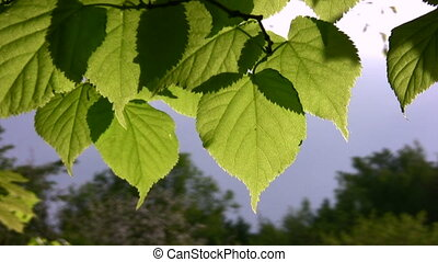 feuille, vent