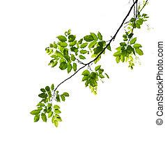 feuille, vert