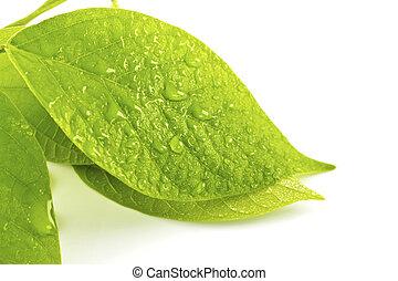 feuille verte, à, gouttes, de, eau, blanc, fond