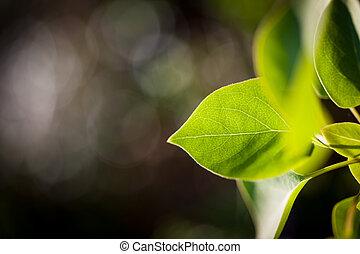 feuille verte, éclairé, lumière soleil, frais