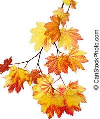 feuilles, érable, clair, jaune, tige