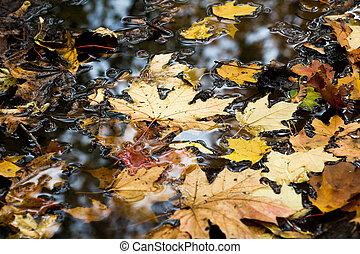 feuilles, érable, flotter, piscine, multi-coloré