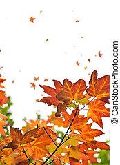 feuilles, érable, fond, automne