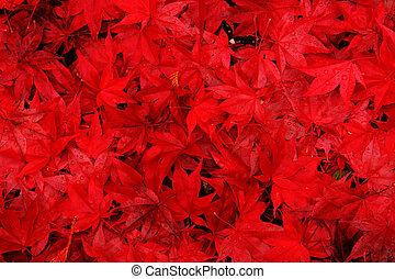 feuilles, érable, fond, rouges