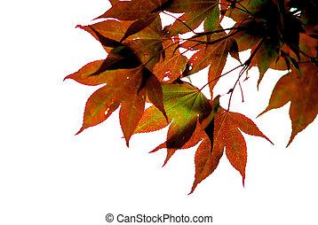 feuilles, érable japonais