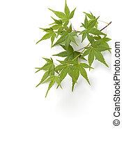 feuilles, érable, japonaise, arbre