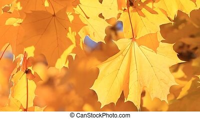 feuilles, érable, lumière soleil