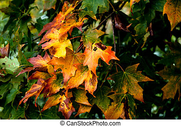 feuilles, érable