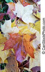 feuilles, érable, terrestre