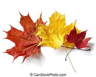 feuilles, érable, trois