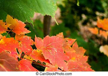 feuilles, érables, automne