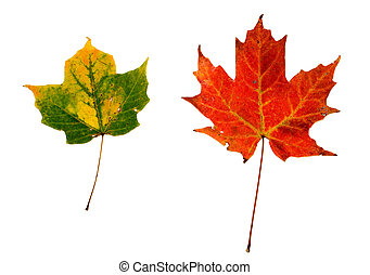 feuilles, 2, isolé