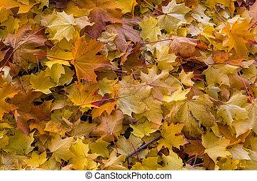 feuilles, arbre, érable, fond, automne