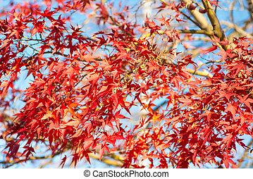 feuilles, arbre, érable rouge