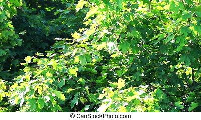 feuilles, arbre, érable