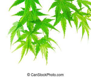 feuilles, arbre, arrière-plan vert, blanc, érable