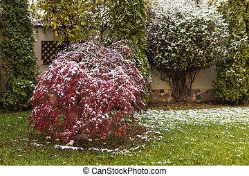 feuilles, arbre, japonaise, neige, érable, premier