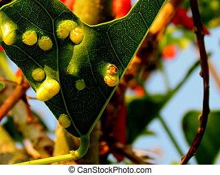 feuilles, arbre, kafferboom