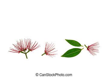feuilles, arbre, pohutukawa, fond, fleurs blanches, fleur, rouges