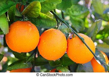 feuilles, arbre, vert, branche, fruits, orange, espagne