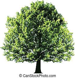 feuilles, arbre, vert