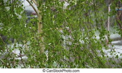 feuilles, arbres, anormal, neige, tard, flowers., april., ...