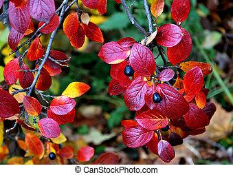 feuilles, arbrisseau, rouges
