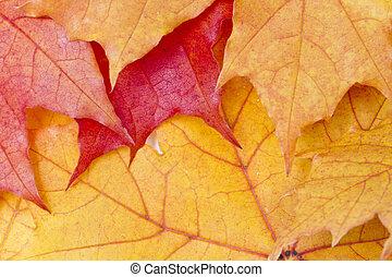 feuilles, arrière-plan rouge, érable