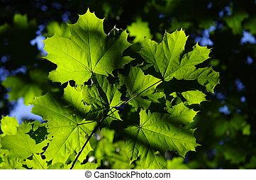 feuilles, arrière-plan vert, érable