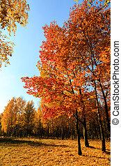 feuilles automne, érable, arbres, rouges