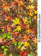 feuilles, automne, érable, baissé, mensonge, terrestre