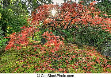 feuilles automne, érable japonais, tomber