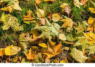 feuilles, automne, érable