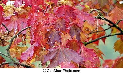feuilles automne, érable rouge