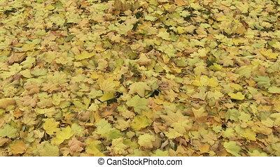 feuilles automne, 01, érable