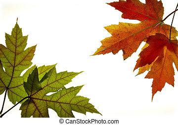 feuilles, automne, 3, couleurs, backlit, mélangé, érable