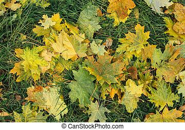 feuilles automne, baissé, érable