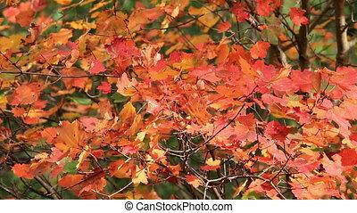 feuilles automne, coloré, érable