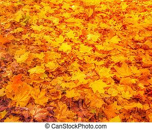 feuilles automne, coloré, chutes