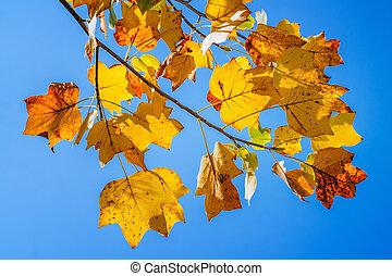 feuilles automne, dans, les, ciel bleu
