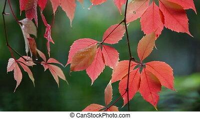 feuilles automne, gouttes, rouges, pluie