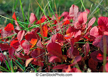 feuilles automne, herbe, rouges