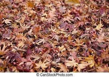 feuilles automne, japonaise, fond, érable