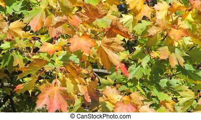 feuilles automne, jaune, érable