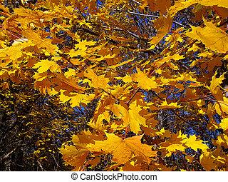 feuilles automne, jaune