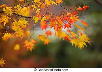 feuilles automne, jaune rouge, érable